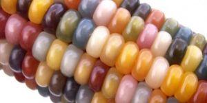"""نوع نادر وغريب للذرة يتميز بألوانه الجذابة """"كل حبة لون"""" وكأنها قوس الرحمن سبحان الله"""