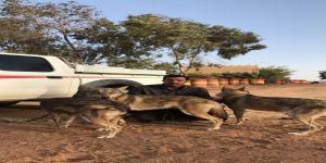 الحزيم يصرخ قاتلو الذئاب بالصحراء عابثون في البيئة ويجب معاقبته